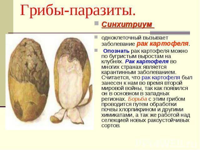 Грибы-паразиты. Синхитриум одноклеточный вызывает заболевание рак картофеля. Опознать рак картофеля можно по бугристым выростам на клубнях. Рак картофеля во многих странах является карантинным заболеванием. Считается, что рак картофеля был занесен к…