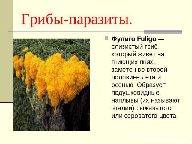 Грибы-паразиты. Фулиго Fuligo — слизистый гриб, который живет на гниющих пнях, заметен во второй половине лета и осенью. Образует подушковидные наплывы (их называют эталии) рыжеватого или сероватого цвета.
