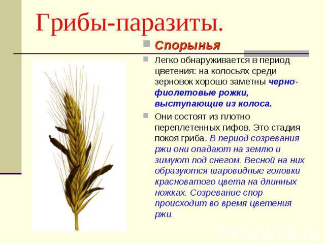 Грибы-паразиты. СпорыньяЛегко обнаруживается в период цветения: на колосьях среди зерновок хорошо заметны черно-фиолетовые рожки, выступающие из колоса. Они состоят из плотно переплетенных гифов. Это стадия покоя гриба. В период созревания ржи они о…