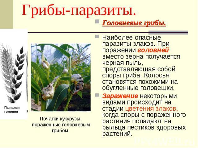 Грибы-паразиты. Початки кукурузы, пораженные головневым грибом Головневые грибы.Наиболее опасные паразиты злаков. При поражении головней вместо зерна получается черная пыль, представляющая собой споры гриба. Колосья становятся похожими на обугленные…