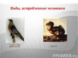 Виды, истребленные человекомСтранствующий голубь Дронт