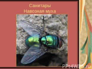 СанитарыНавозная муха