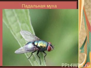 Падальная муха