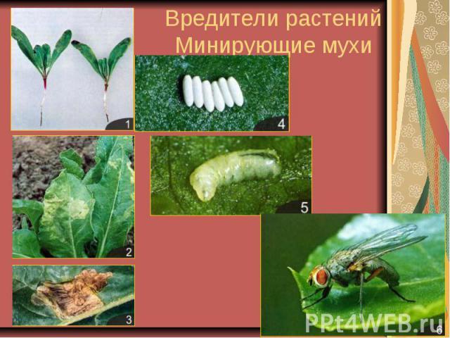 Вредители растенийМинирующие мухи