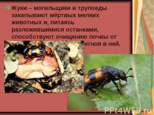 Жуки – могильщики и трупоеды закапывают мёртвых мелких животных и, питаясь разло