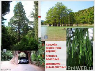 Секвойя (мамонтово дерево)Кипарис болотныйДакридиум рыхлолистный