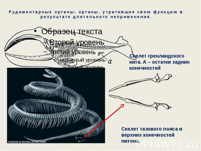 Рудиментарные органы- органы, утратившие свою функцию в результате длительного неприменения. Скелет гренландского кита. А – остатки задних конечностей Скелет тазового пояса и верхних конечностей питона.