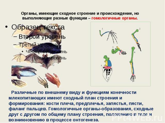 Органы, имеющие сходное строение и происхождение, но выполняющие разные функции – гомологичные органы.  Различные по внешнему виду и функциям конечности млекопитающих имеют сходный план строения и формирования: кости плеча, предплечья, запястья, пя…