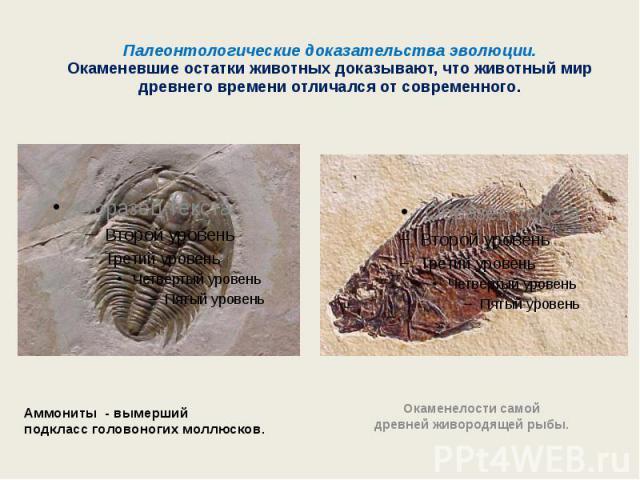 Палеонтологические доказательства эволюции.Окаменевшие остатки животных доказывают, что животный мир древнего времени отличался от современного. Аммониты - вымерший подклассголовоногих моллюсков. Окаменелостисамой древнейживородящей рыбы.