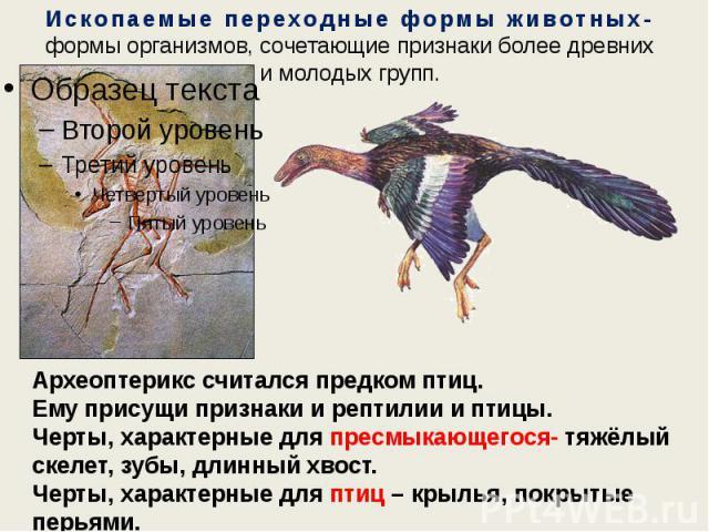 Ископаемые переходные формы животных- формы организмов, сочетающие признаки более древних и молодых групп. Археоптерикс считался предком птиц. Ему присущи признаки и рептилии и птицы. Черты, характерные для пресмыкающегося- тяжёлый скелет, зубы, дли…