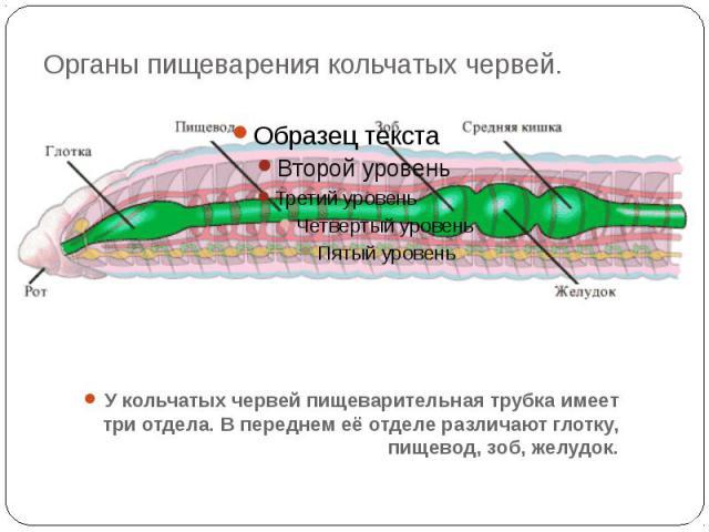 Органы пищеварения кольчатых червей.У кольчатых червей пищеварительная трубка имеет три отдела. В переднем её отделе различают глотку, пищевод, зоб, желудок.