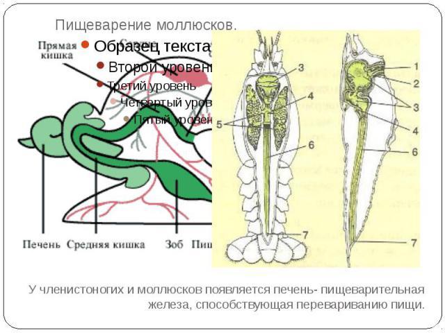 Пищеварение моллюсков.У членистоногих и моллюсков появляется печень- пищеварительная железа, способствующая перевариванию пищи.