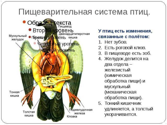 Пищеварительная система птиц. У птиц есть изменения, связанные с полётом:Нет зубов.Есть роговой клюв.В пищеводе есть зоб.Желудок делится на два отдела – железистый (химическая обработка пищи) и мускульный (механическая обработка пищи).Тонкий кишечни…