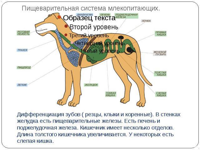 Пищеварительная система млекопитающих. Дифференциация зубов ( резцы, клыки и коренные). В стенках желудка есть пищеварительные железы. Есть печень и поджелудочная железа. Кишечник имеет несколько отделов. Длина толстого кишечника увеличивается. У не…