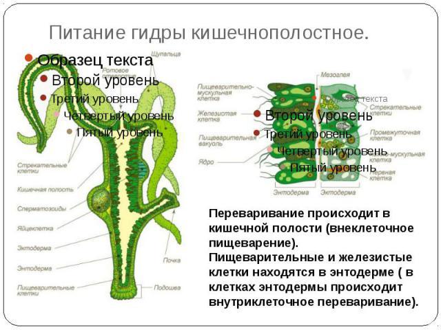 Питание гидры кишечнополостное.Переваривание происходит в кишечной полости (внеклеточное пищеварение). Пищеварительные и железистые клетки находятся в энтодерме ( в клетках энтодермы происходит внутриклеточное переваривание).