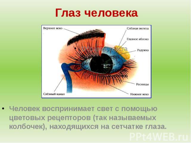 Глаз человекаЧеловек воспринимает свет с помощью цветовых рецепторов (так называемых колбочек), находящихся на сетчатке глаза.