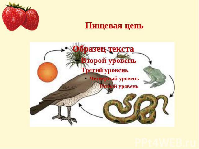 Пищевая цепь