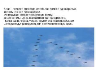 Стая лебедей способна лететь так долго в одном ритме, потому что ониподстроены.