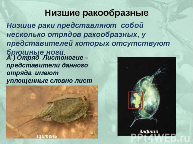 Низшие ракообразные Низшие раки представляют собой несколько отрядов ракообразных, у представителей которых отсутствуют брюшные ноги. А ) Отряд Листоногие – представители данного отряда имеют уплощенные словно лист ноги.