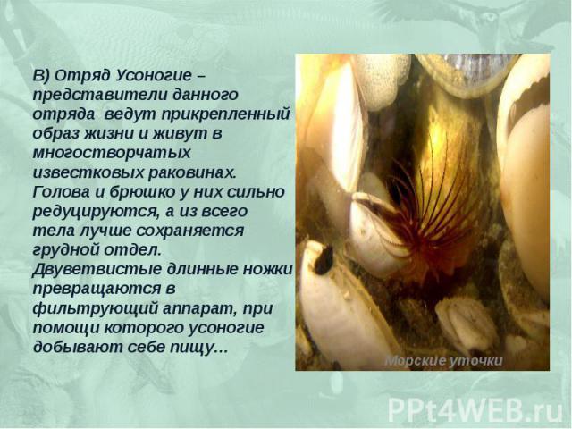 В) Отряд Усоногие – представители данного отряда ведут прикрепленный образ жизни и живут в многостворчатых известковых раковинах. Голова и брюшко у них сильно редуцируются, а из всего тела лучше сохраняется грудной отдел. Двуветвистые длинные ножки …