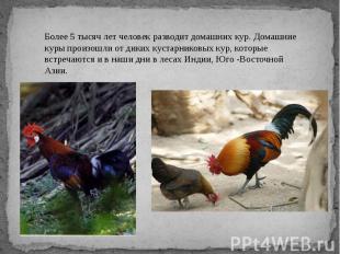Более 5 тысяч лет человек разводит домашних кур. Домашние куры произошли от дики
