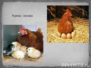 Курица – наседка.