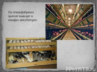 На птицефабриках цыплят выводят в шкафах инкубаторах.