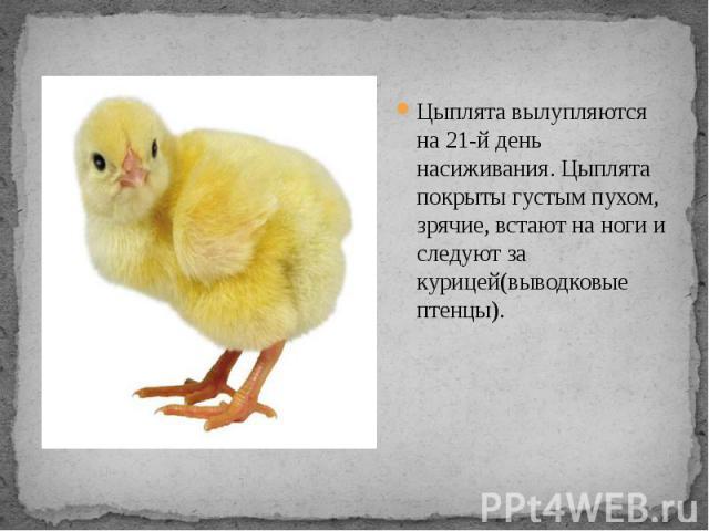 Цыплята вылупляются на 21-й день насиживания. Цыплята покрыты густым пухом, зрячие, встают на ноги и следуют за курицей(выводковые птенцы).