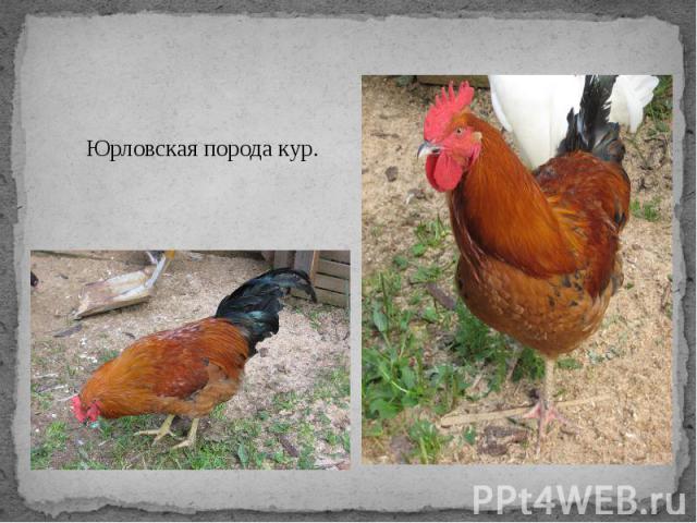Юрловская порода кур.