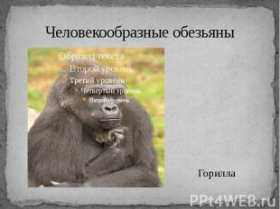 Человекообразные обезьяны Горилла