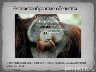 Человекообразные обезьяны Орангутанг в переводе означает «Лесной человек».Самцы
