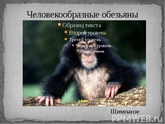 Человекообразные обезьяны Шимпанзе