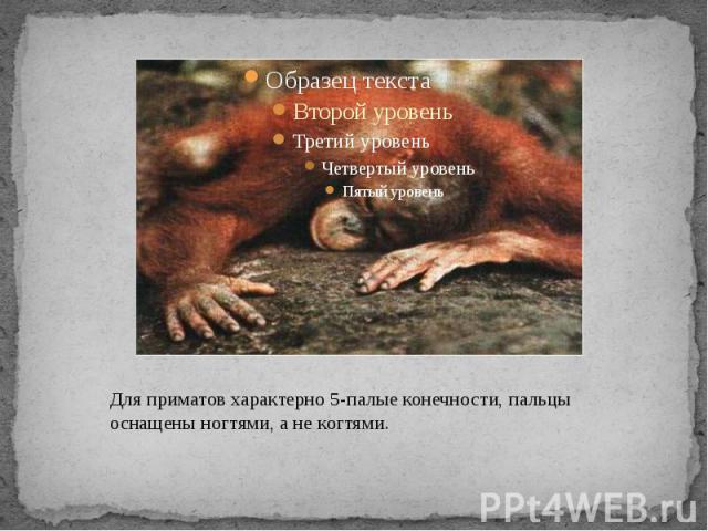 Для приматов характерно 5-палые конечности, пальцы оснащены ногтями, а не когтями.