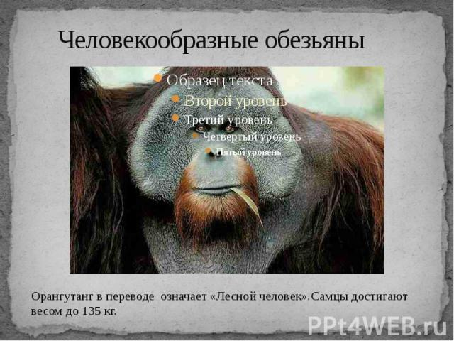 Человекообразные обезьяны Орангутанг в переводе означает «Лесной человек».Самцы достигают весом до 135 кг.