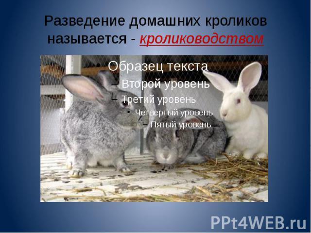 Разведение домашних кроликов называется - кролиководством
