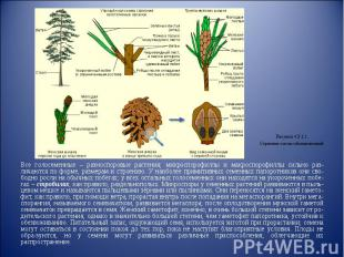 Все голосеменные – разноспоровые растения; микроспорофиллы и макроспорофиллы сил