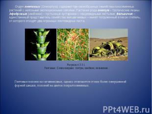 Отдел гнетовых (Gnetophyta) содержит три своеобразных семейства голосеменных рас