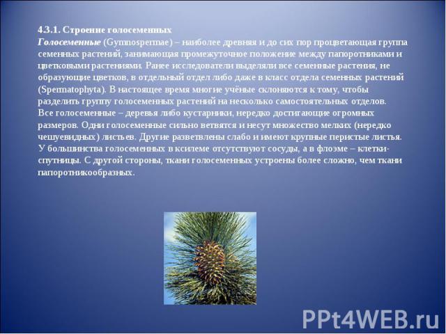 4.3.1. Строение голосеменных Голосеменные (Gymnospermae) – наиболее древняя и до сих пор процветающая группа семенных растений, занимающая промежуточное положение между папоротниками и цветковыми растениями. Ранее исследователи выделяли все семенные…