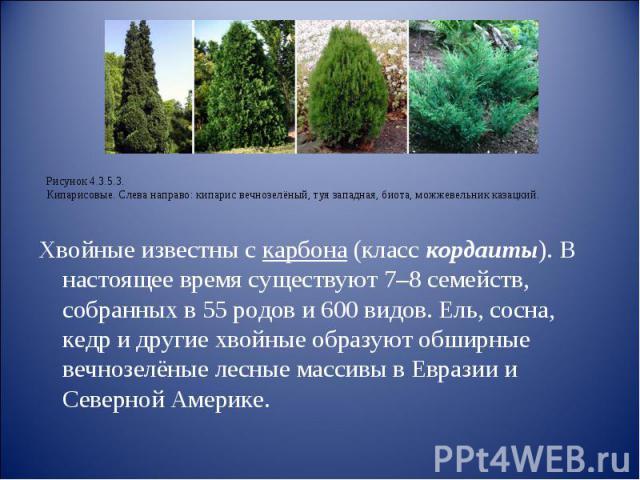 Хвойные известны с карбона (класс кордаиты). В настоящее время существуют 7–8 семейств, собранных в 55 родов и 600 видов. Ель, сосна, кедр и другие хвойные образуют обширные вечнозелёные лесные массивы в Евразии и Северной Америке.