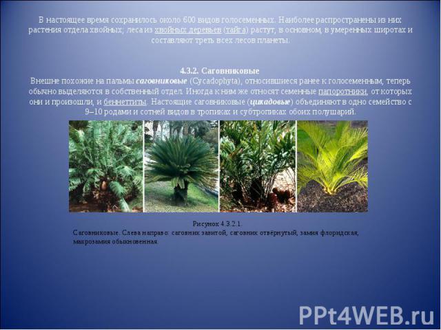 В настоящее время сохранилось около 600 видов голосеменных. Наиболее распространены из них растения отдела хвойных; леса из хвойных деревьев (тайга) растут, в основном, в умеренных широтах и составляют треть всех лесов планеты.4.3.2. Саговниковые Вн…