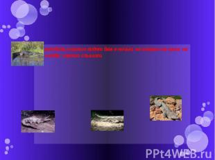 Крокодилы хорошо видят даже ночью, не только на суше, но и в воде; хорошо слышат