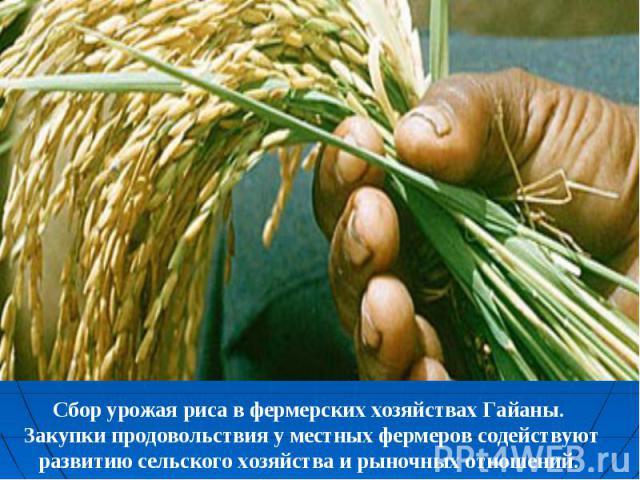 Сбор урожая риса в фермерских хозяйствах Гайаны. Закупки продовольствия у местных фермеров содействуют развитию сельского хозяйства и рыночных отношений.