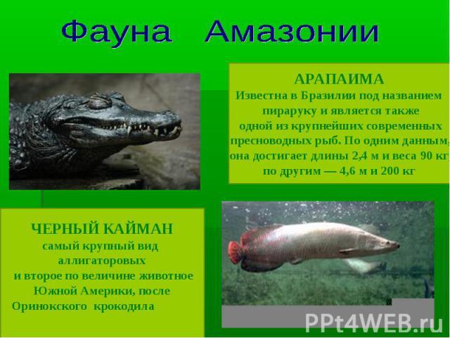 Фауна Амазонии ЧЕРНЫЙ КАЙМАНсамый крупный вид аллигаторовых и второе по величине животное Южной Америки, после Оринокского крокодила АРАПАИМАИзвестна в Бразилии под названием пираруку и является также одной из крупнейших современных пресноводных рыб…