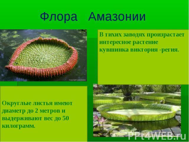 В тихих заводях произрастает интересное растение кувшинка виктория -регия. Округлые листья имеют диаметр до 2 метров и выдерживают вес до 50 килограмм.