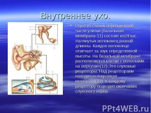 Одна из стенок перепончатой части улитки (базальная мембрана-11) состоит из24тыс