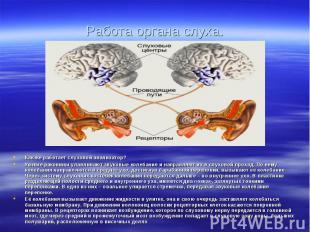 Работа органа слуха. Как же работает слуховой анализатор?Ушные раковины улавлива