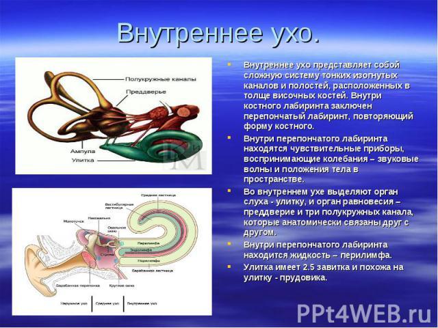 Внутреннее ухо. Внутреннее ухо представляет собой сложную систему тонких изогнутых каналов и полостей, расположенных в толще височных костей. Внутри костного лабиринта заключен перепончатый лабиринт, повторяющий форму костного.Внутри перепончатого л…