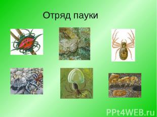Отряд пауки