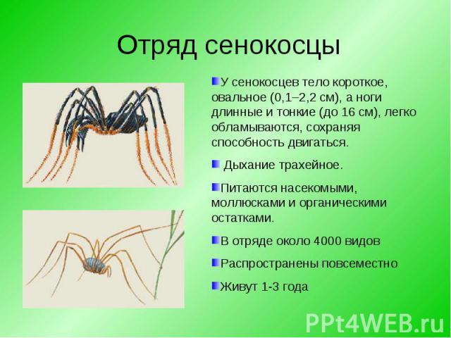 У сенокосцев тело короткое, овальное (0,1–2,2 см), а ноги длинные и тонкие (до 16 см), легко обламываются, сохраняя способность двигаться. Дыхание трахейное. Питаются насекомыми, моллюсками иорганическими остатками. Вотряде около 4000 видовРаспрос…
