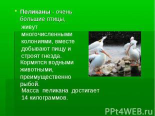 Пеликаны - очень большие птицы, живут многочисленными колониями, вместе добывают